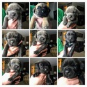 Cane Corso Puppy For Sale in NAMPA, ID, USA