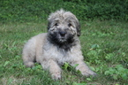 AKC Bouvier des Flandres Puppies