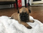 Brussels Griffon Puppy For Sale in DAYTON, OH