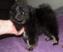 Pomeranian Puppy For Sale in SKIATOOK, OK