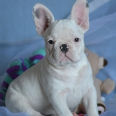 French Bulldog Puppy For Sale in BROOKLINE, MA, USA