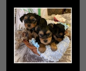 Yorkshire Terrier Dog for Adoption in PHILIPSBURG, Pennsylvania USA