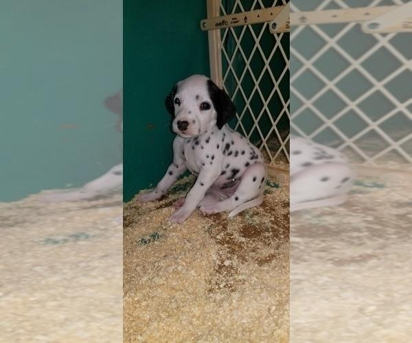 Medium Photo #7 Dalmatian Puppy For Sale in DUVALL, WA, USA