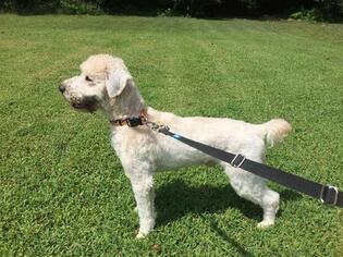 AKC Reg Soft Coated Wheaten Terrier Puppies