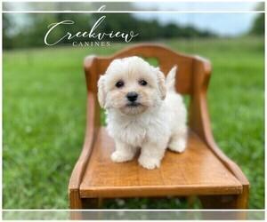 Maltipoo Puppy for Sale in NIANGUA, Missouri USA