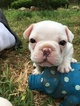 Border Terrier-French Bulldog Mix Puppy For Sale in ALTOONA, KS, USA
