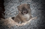 Pomeranian Puppy For Sale in GRAYSON, LA, USA