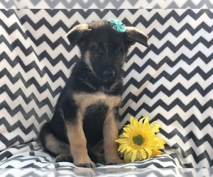 German Shepherd Dog Puppy for sale in EAST EARL, PA, USA