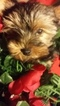 Yorkshire Terrier Puppy For Sale in SEDONA, AZ, USA