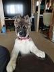 Akita Puppy For Sale in GRAND RAPIDS, Michigan,