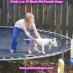 Small Photo #171 Dogo Argentino Puppy For Sale in PINEVILLE, MO, USA
