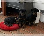 Small #4 Rottweiler