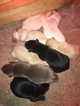 Labrador Retriever Puppy For Sale in MOORES HILL, IN, USA