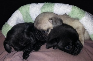 View Ad Pug Puppy For Sale Near Florida Sebastian Usa Adn 9363