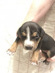 Catahoula Leopard Dog Puppy For Sale in OMAHA, NE, USA