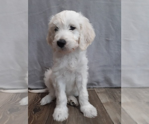 Goldendoodle Puppy for sale in BARK RIVER, MI, USA