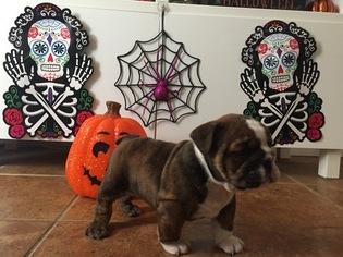 Bulldog Puppy For Sale in WOODLAND, CA