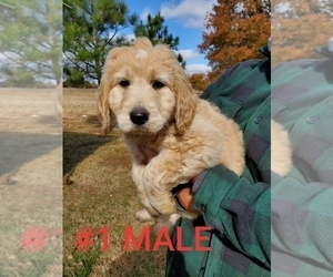 Goldendoodle Puppies For Sale Near Honey Grove Texas Usa