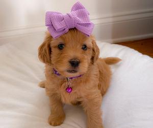 Goldendoodle Dog for Adoption in DAHLONEGA, Georgia USA