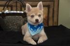 Alaskan Klee Kai Puppy For Sale in LOS ANGELES, California,