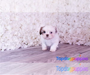 Mal-Shi Puppy for Sale in FULLERTON, California USA