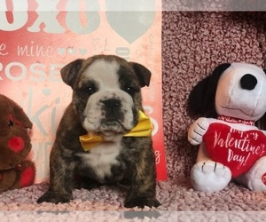 Bulldog Puppy for sale in CLAY, PA, USA