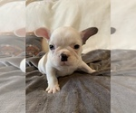 Small Photo #19 French Bulldog Puppy For Sale in JOHNS ISLAND, SC, USA