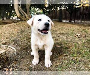 Akbash Dog Puppy for sale in CLOVIS, CA, USA