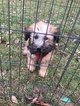 Soft Coated Wheaten Terrier Puppy For Sale in GREENWOOD, IN, USA