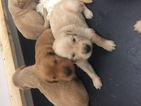 Golden Retriever Puppy For Sale in SUFFOLK, VA