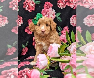 Australian Shepherd-Poodle (Miniature) Mix Puppy for sale in NOTTINGHAM, PA, USA