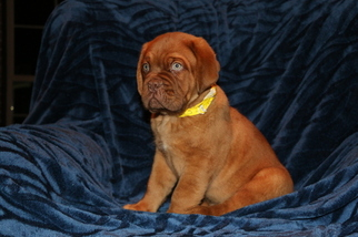 Dogue de Bordeaux Puppy For Sale in ROCKWALL, TX