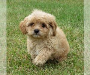 Cavachon Puppy for sale in LE MARS, IA, USA