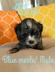 Cocker Spaniel Puppy For Sale in GATESVILLE, TX, USA