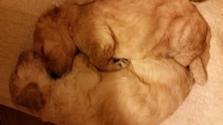Goldendoodle Puppy For Sale in NORTH ANDOVER, MA