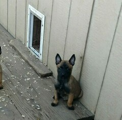 Belgian Malinois Puppy for sale in QUITMAN, TX, USA