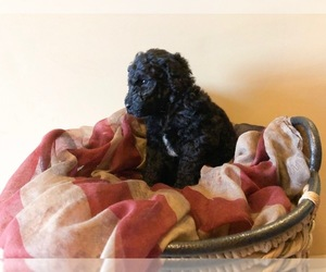 Poodle (Standard) Puppy for Sale in HOPKINSVILLE, Kentucky USA