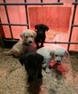 Labrador Retriever Puppy For Sale in WALHONDING, OH, USA