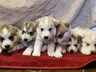 Siberian Husky Puppy For Sale in MADERA, CA, USA