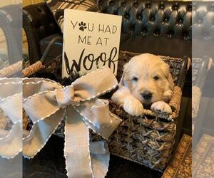 Goldendoodle Puppy for Sale in GLENDALE, California USA