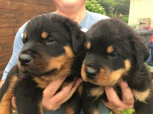 Rottweiler Puppy For Sale in AUSTIN, TX