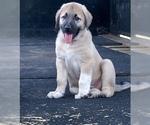 Puppy 6 Anatolian Shepherd