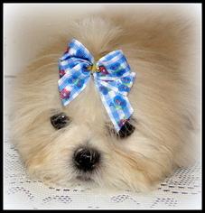 Mal-Shi Puppy For Sale in STATHAM, GA, USA