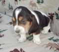Basset Hound Puppy For Sale in MIAMI BEACH, FL
