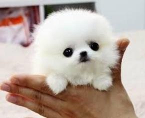 View Ad Pomeranian Puppy For Sale Near Arizona Tempe Usa Adn 14878