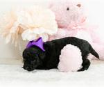 Small #10 Pomeranian-Poodle (Toy) Mix