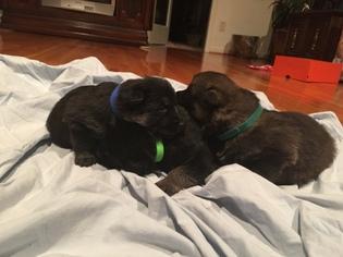 German Shepherd Dog Puppy for sale in TRINITY, NC, USA