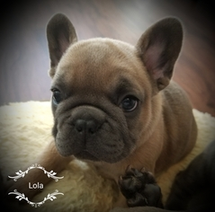 French Bulldog Puppy For Sale in SPOKANE, WA