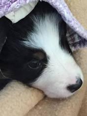 Australian Shepherd Puppy For Sale in CANTON, MA