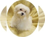 Image preview for Ad Listing. Nickname: MALTESE CUTIE